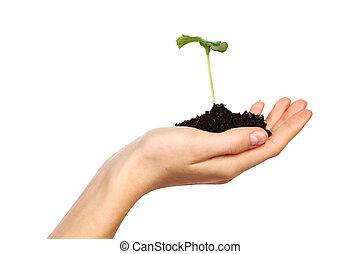 planta, en, el, mujeres, manos