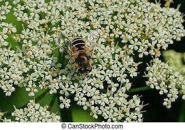 planta, flor, abelha, listrado, senta-se, branca
