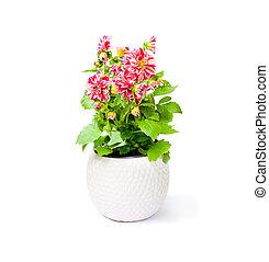planta, flor, coloridos, pote, isolado, fundo, dahlia, branca