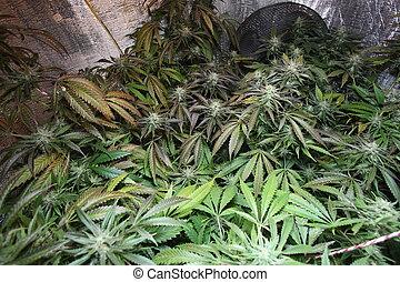 planta, flor, médico, marijuana, cannabis, florescer