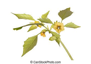 planta, flores, hojas,  Tomatillo