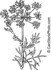 planta, foeniculum, (flowering, fennel)