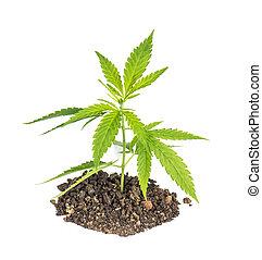 planta, folhas, cannabis, fundo, branca, cânhamo