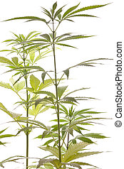 planta, folhas, marijuana, fundo, fresco, branca