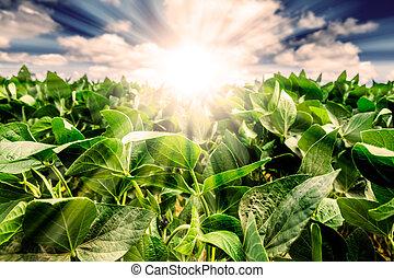 planta, folhas, poderoso, atrás de, closeup, soja, amanhecer