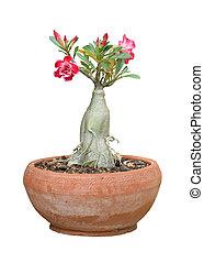 planta, fundo, isolado, branca, flor potted