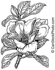 planta, grandiflora, magnólia
