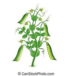 planta, guisantes, aislado, vector, crecer, blanco
