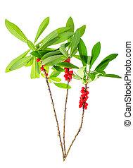 planta, hojas, verde, rama, salvaje, bayas, rojo