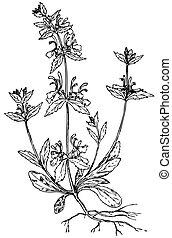 planta, hortelã, (lamiaceae)