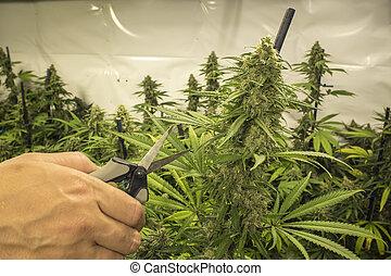 planta, indoor, cortando, marijuana
