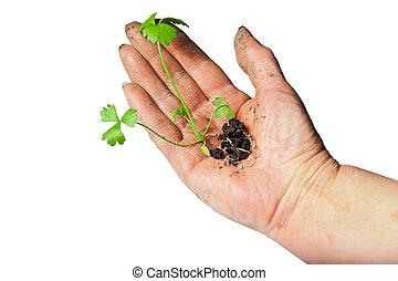 planta, isolado, mão, crescendo, experiência verde, pequeno, branca