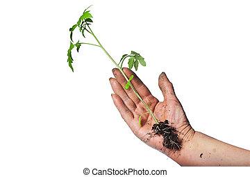 planta, isolado, mão, experiência verde, crescendo, branca