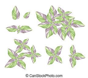 planta, jogo, fundo branco, acanthaceae