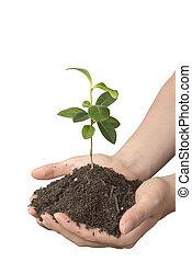 planta jovem, com, solo, ligado, mãos