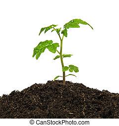 planta, jovem, isolado, experiência verde, branca
