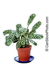 planta, maceta, aislado, verde blanco, maranta