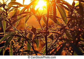 planta maconha, silueta, amanhecer