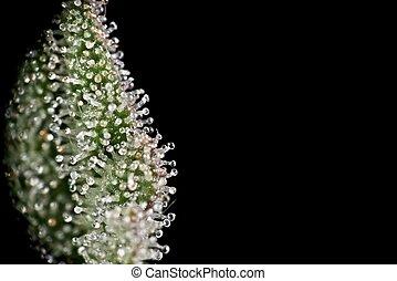 planta maconha, trichomes