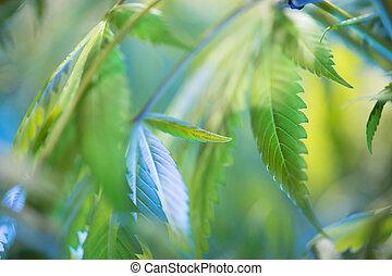 planta maconha, verde, cânhamo, marijuana