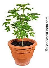 planta maconha, wh, isolado, jovem