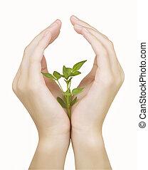 planta, mano, ba, blanco, aislado
