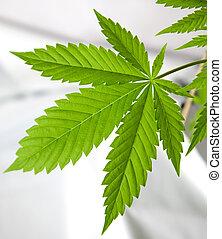 planta, marijuana