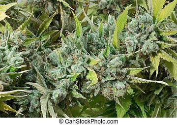 planta, marijuana, macro, cannabis, closeup, broto