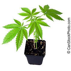 planta, marijuana, pote