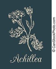 planta, milfoil, illustration., hierba, achillea, cosmético,...