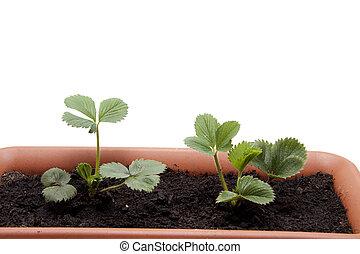 planta morango, em, flores, terras