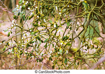 planta, muérdago, parásito, arbusto, abedul