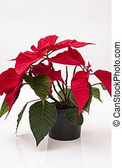 planta, navidad