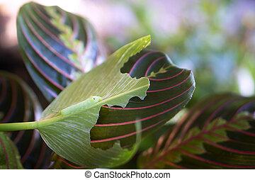 planta, oración, comer, o, mariposa, crisálida, maranta, hojas