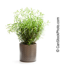 planta, panela flor, isolado, fundo, branca, alecrim