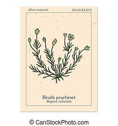 planta, pearlwort, ou, subulata, brejo, irish-moss, sagina, ...