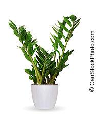 planta, planta de interior, encima, -, zamioculcas, aislado,...