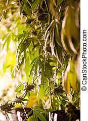 planta, sala, série, -, marijuana, legal, cannabis, cultivo, crescendo, retrato, crescer