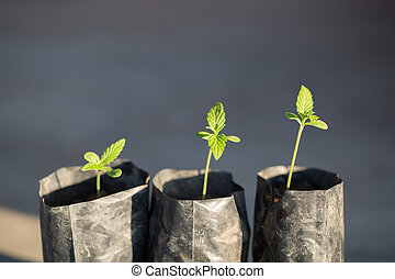 planta, seedling, marijuana, cannabis, plantado, sun., seedlings, pequeno, fase, vegetação, chão