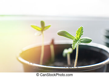 planta, seedling, marijuana., hemp., indoor, macro., cannabis, cultivo, seedlings., sol, pequeno, chão, vegetação, fase