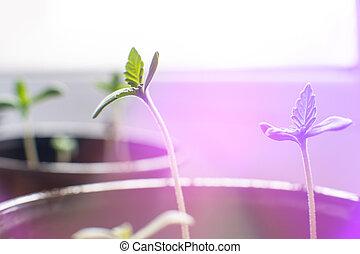 planta, seedling, marijuana., indoor, macro., hemp., cultivo, seedlings., sol, pequeno, cannabis, fase, vegetação, chão