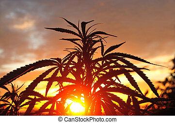 planta, silueta, cedo, cannabis, ao ar livre, crescendo, manhã