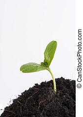 planta, solo, isolado, fundo, crescendo, novo, branco