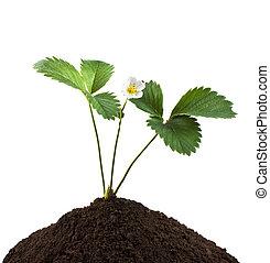 planta, solo, verde