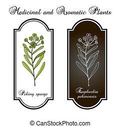 planta, spurge, pekín, medicinal, pekinensis, euphorbia