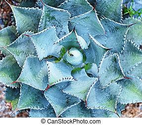 planta suculenta, desierto, macro