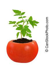 planta tomate, conceito, evolução, isolado, jovem, crescendo, branca