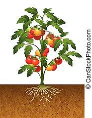 planta tomate, raiz