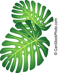 planta tropical, -, hojas, monstera.
