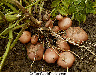 planta, tubers, batata